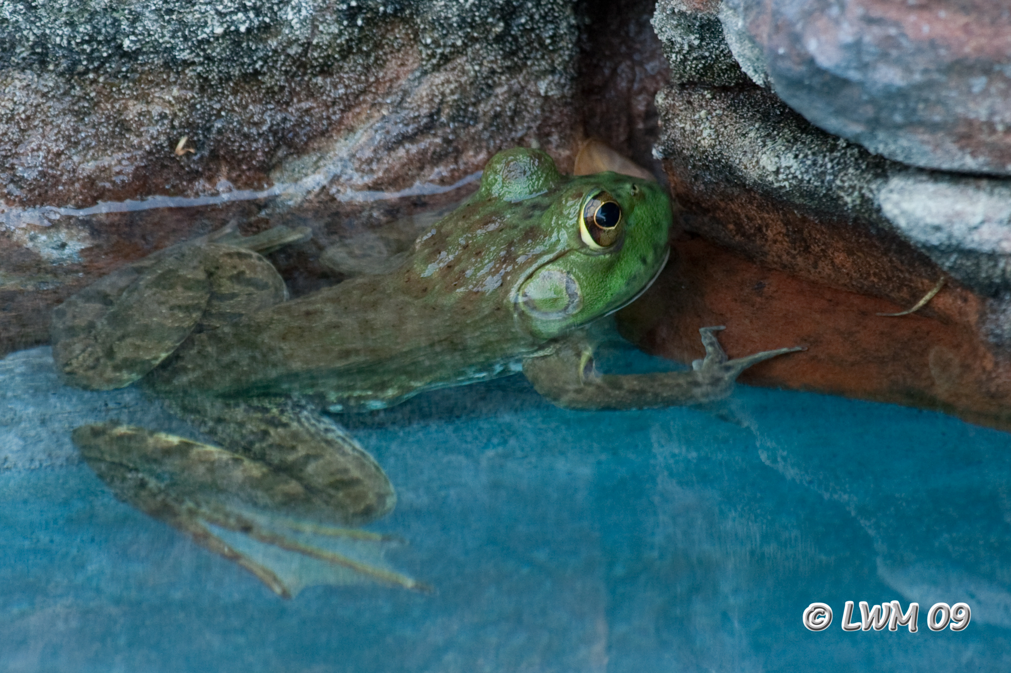 Bullfrog In Pool