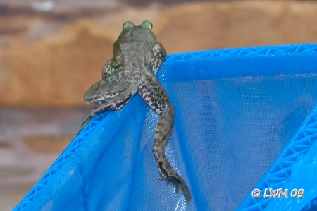 Bullfrog On Pool Net