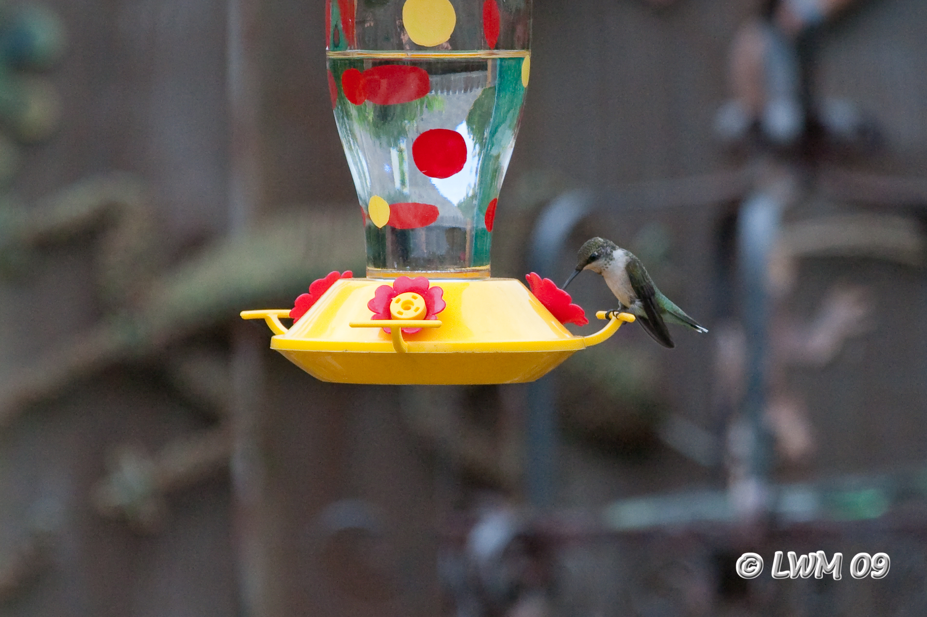 Hummingbird Taking A Drink