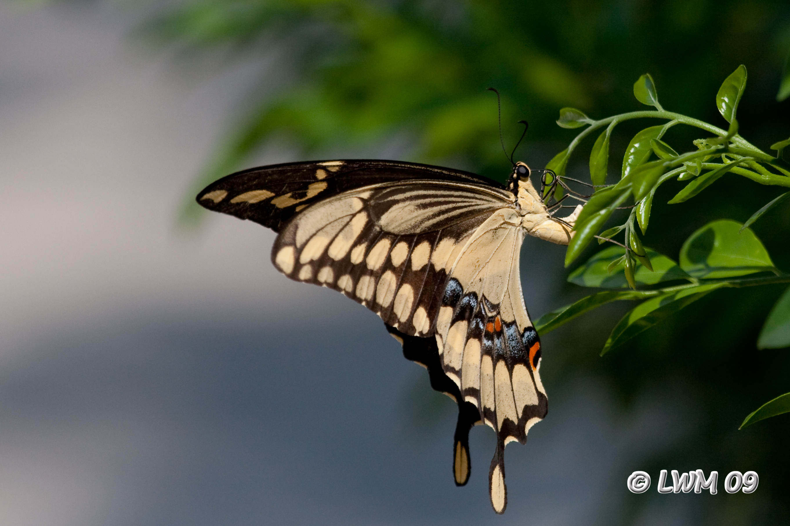 Giant Swallowtail Laying Eggs