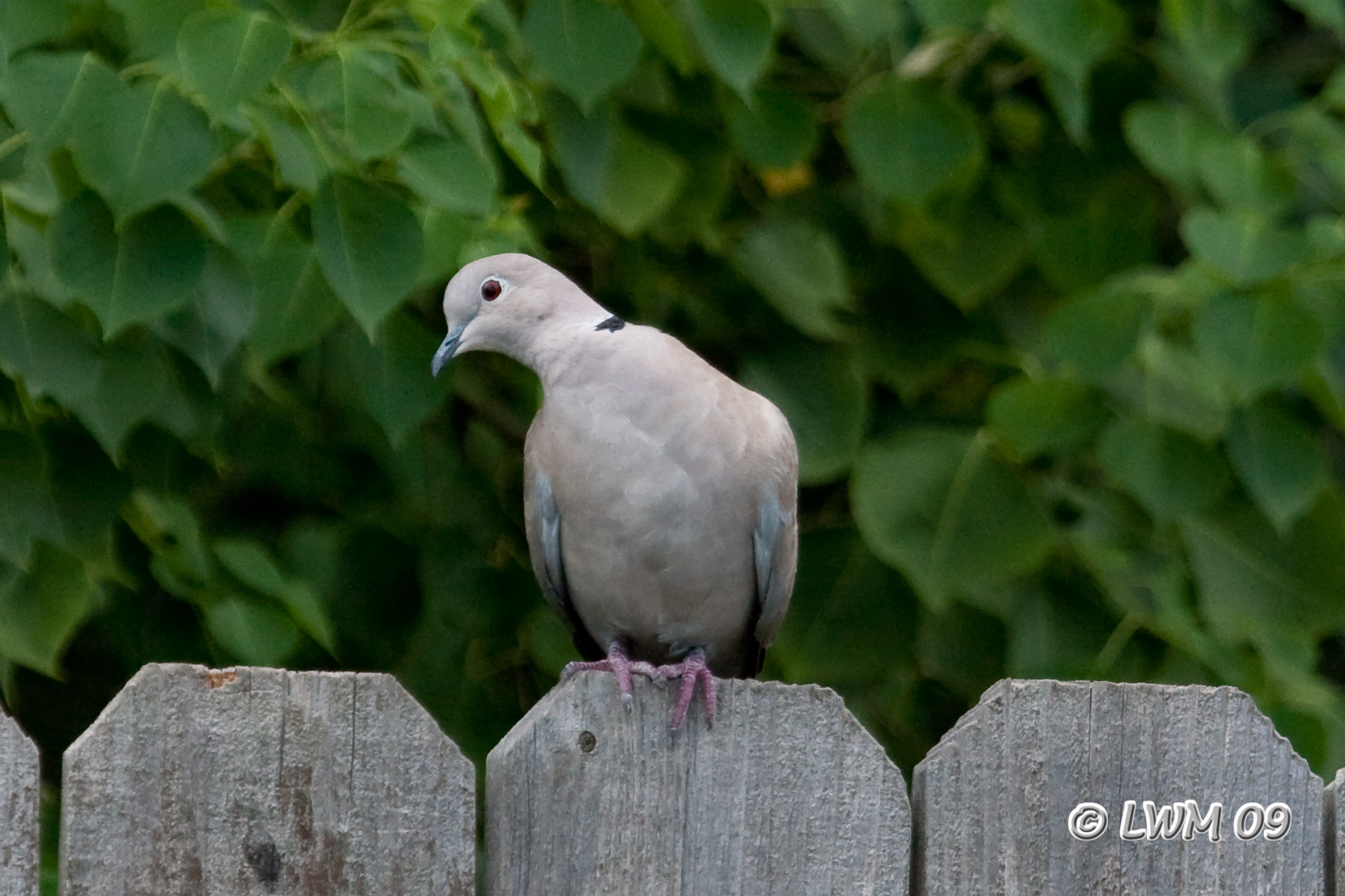 Eurasian CollaredDoves conquering America  FeederWatch