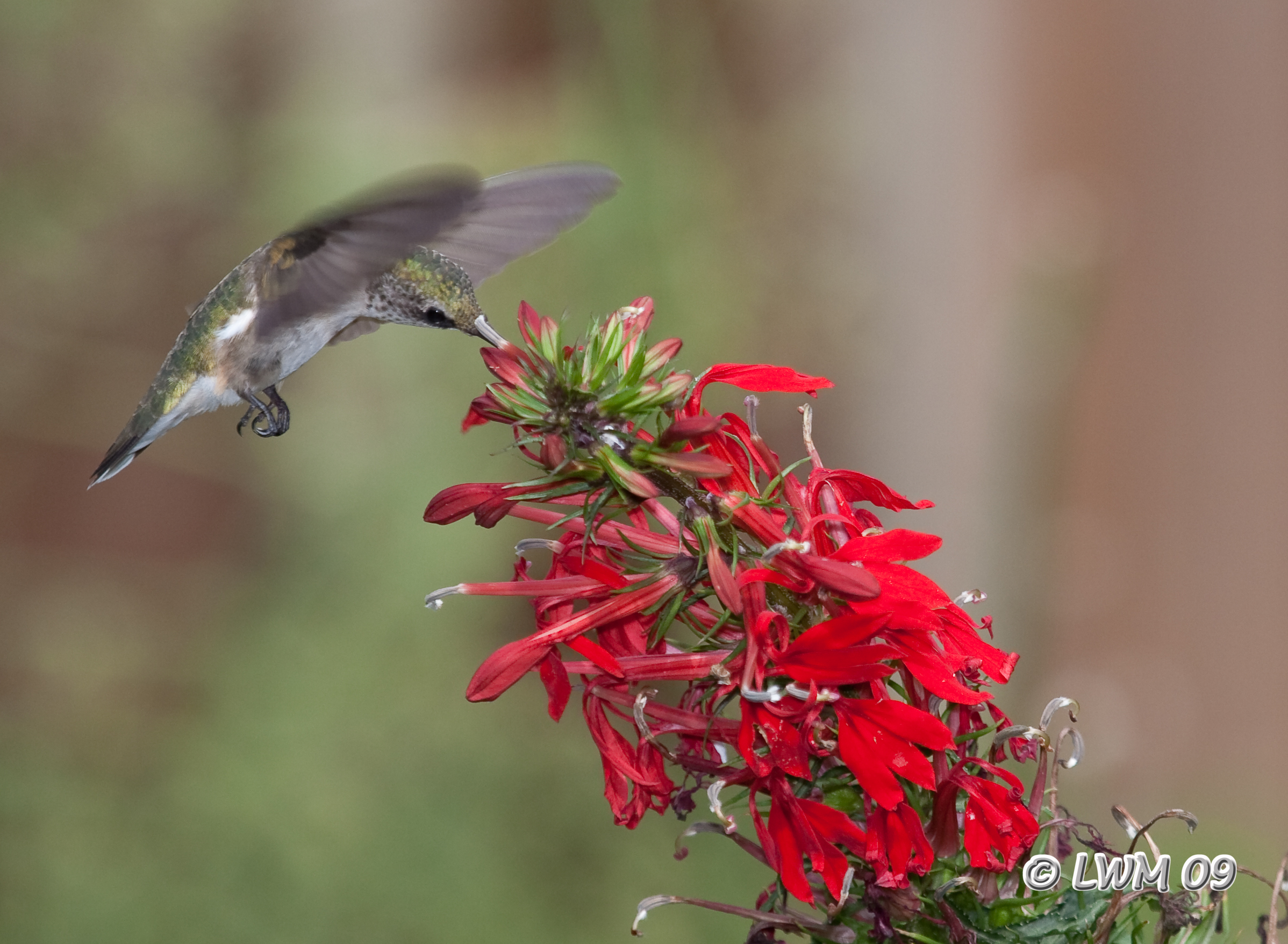 Hummingbird On Cardinal Flower 2