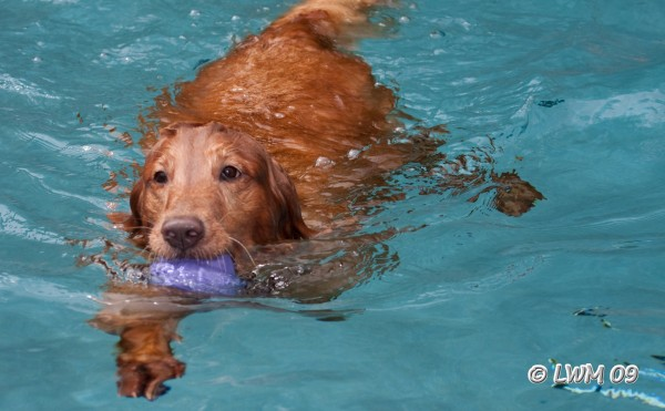 Maggie Swimming With Purple Toy In Mouth