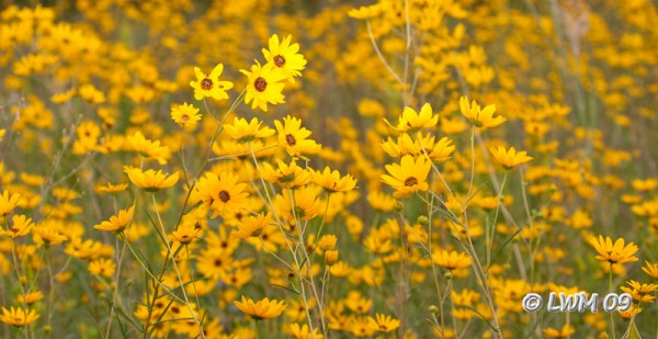 Black Eyed Susan Field