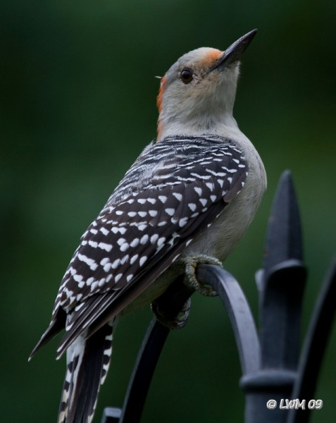 Red Bellied Woodpecker 7D