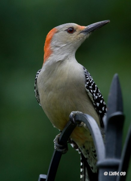 Red Bellied Woodpecker Looking Away 7D