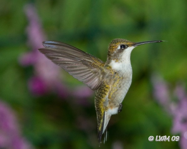 Hummingbird In Flight 7D
