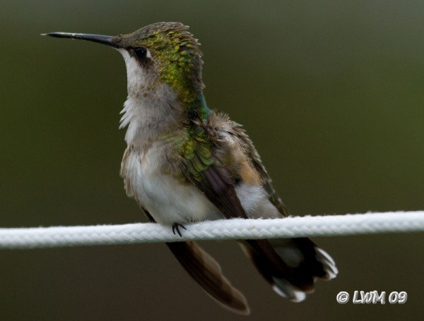 Hummingbird Wiggles Wings