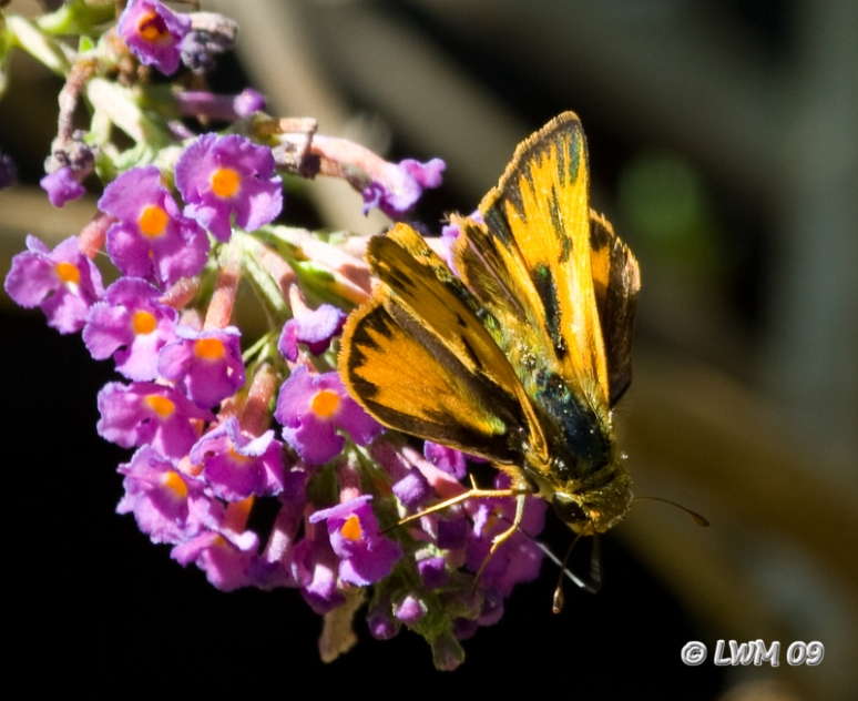 Fiery Skipper On Butterfly Bush