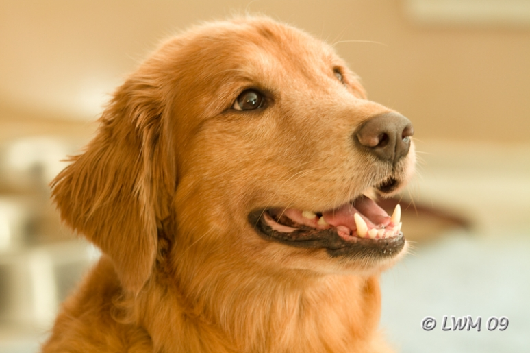 Maggie, Our Golden Retriever, Smiling