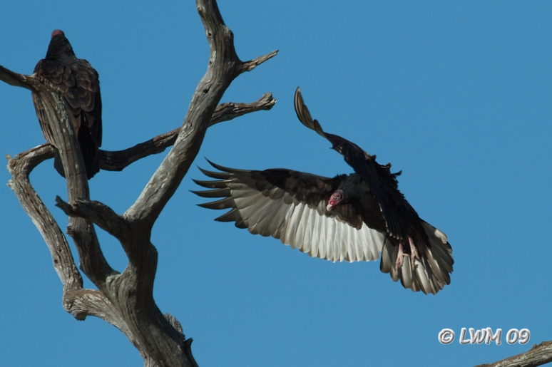 Turkey Vulture Landing On Tree Wings Up Brazos Bend State Park