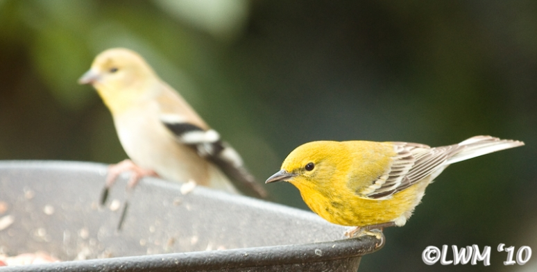 Pine Warbler And American Goldfinch