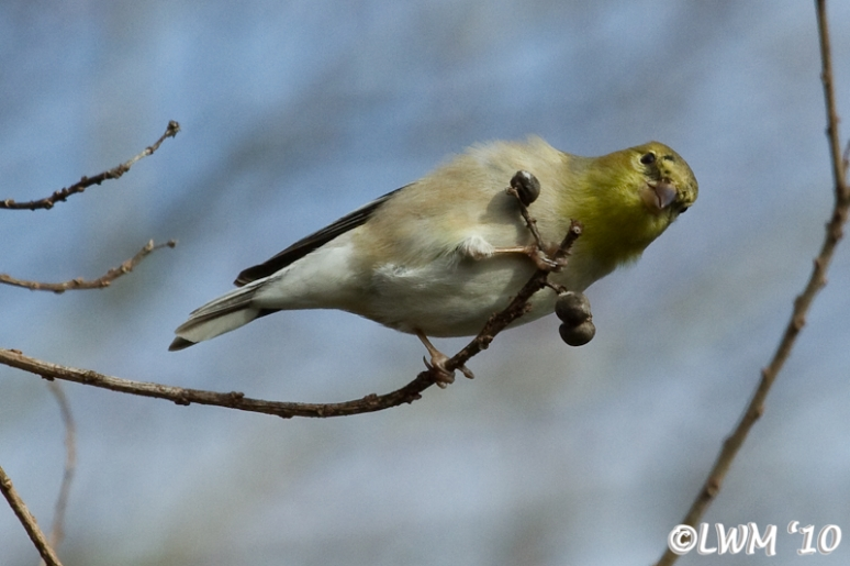 American Goldfinch Picking At Seed