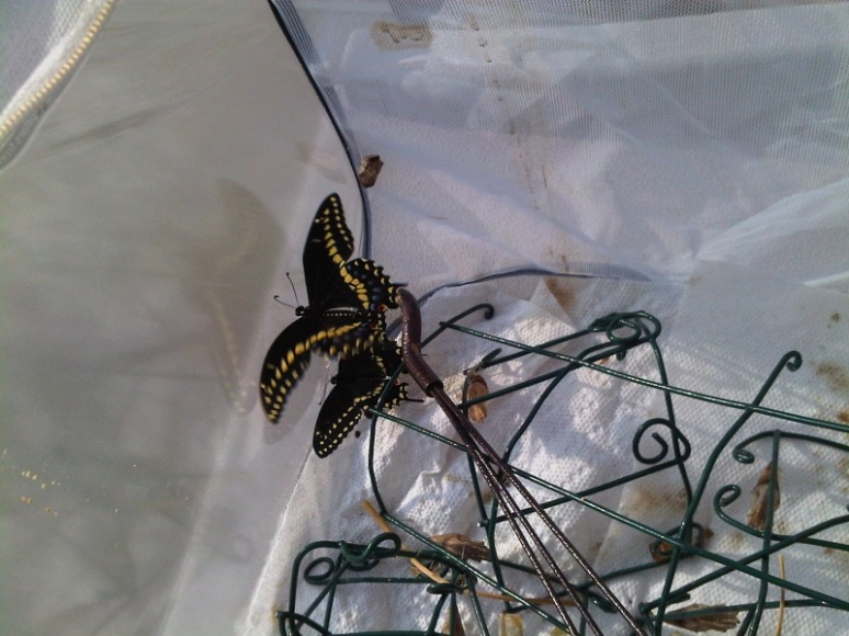 Eastern Black Swallowtails Hatching After 6 Months