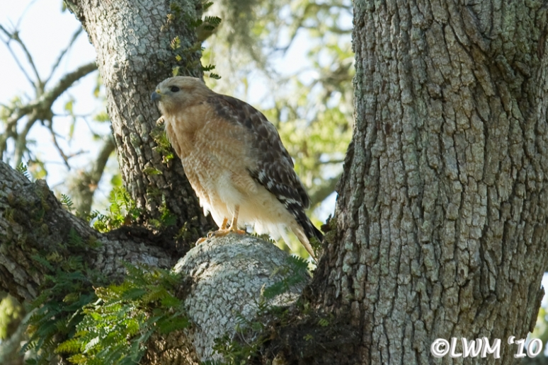 Red Shouldered Hawk Getting Ready To Fly