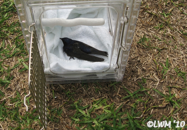 Injured Purple Martin In Travel Carrier