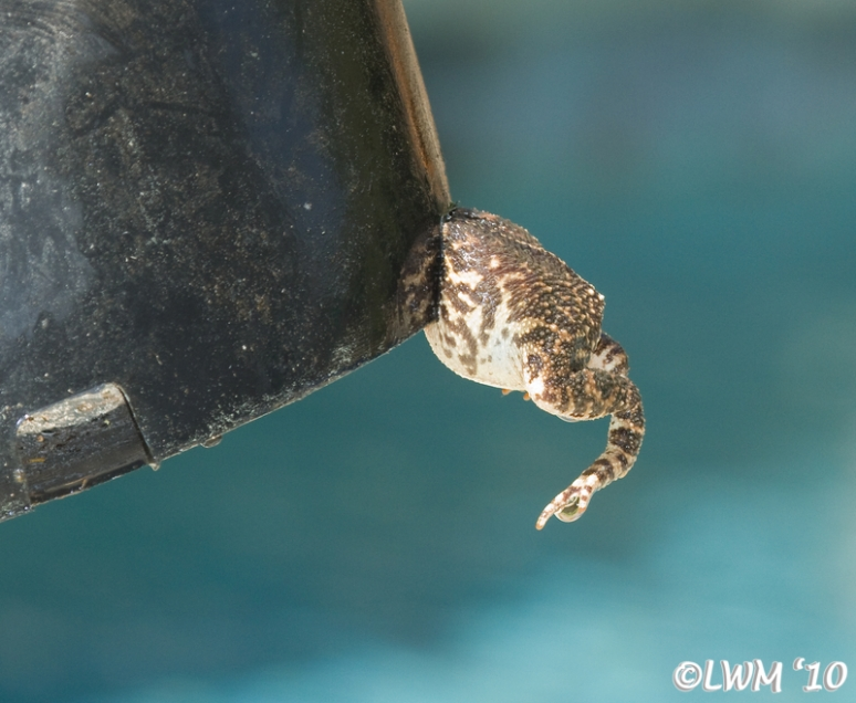 Toad Butt Hanging Out Of Bucket
