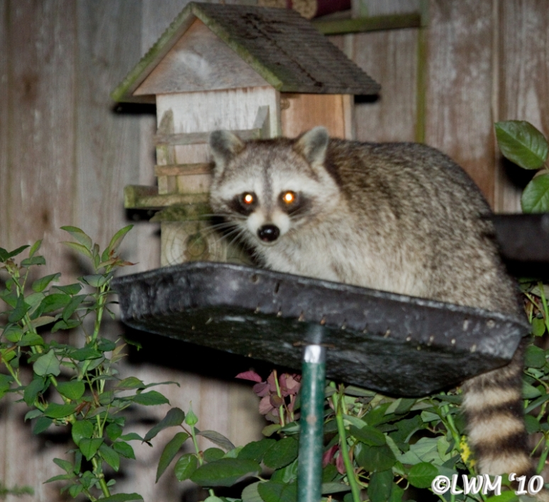 Baby Raccoon Visiting In The Early Evening