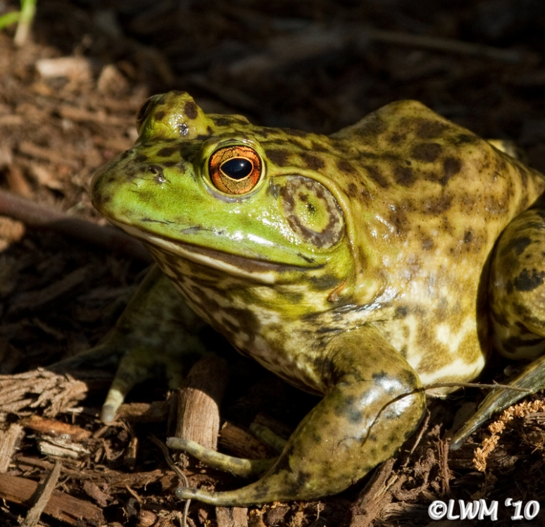 American Bullfrog Focus On Eyes