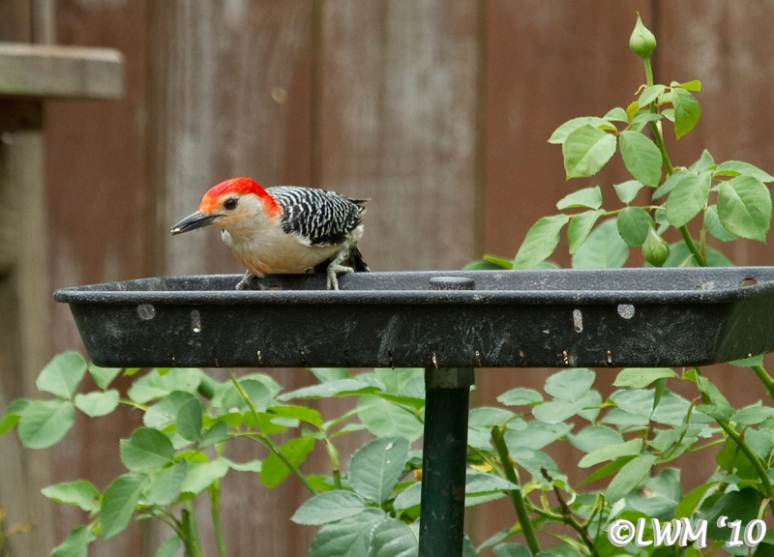 Red Bellied Woodpecker Standing On Bird Feeder