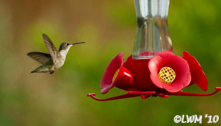 Another Female Ruby Throated Hummingbird In Flight