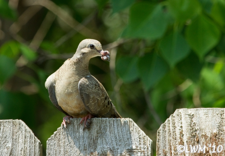 Mourning Dove With Avian Pox: Graphic | Butterfly And Wildlife ...