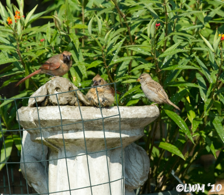 Birdies In Birdbath