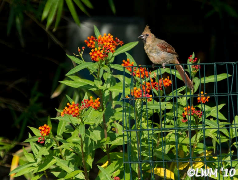 Young Male Cardinal Posing By Milkweed