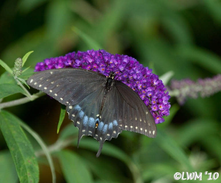 Eastern Black Swallowtail On Butterfly Bush