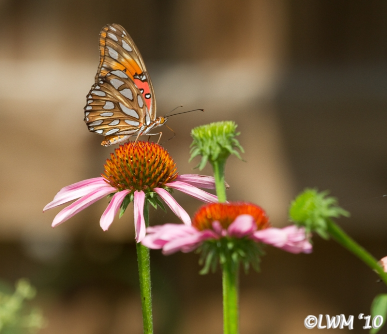 Gulf Fritillary Feeding On Coneflower 2