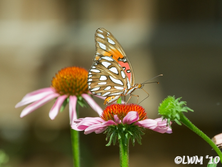 Gulf Fritillary Feeding On Coneflower