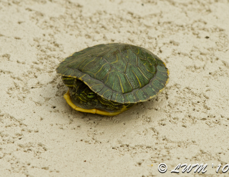 Baby Turtle From Pond Makes Another Visit Butterfly And Wildlife ...