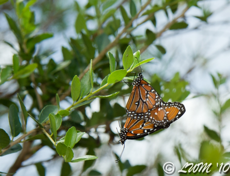 Queen Butterflies Mating In Tree