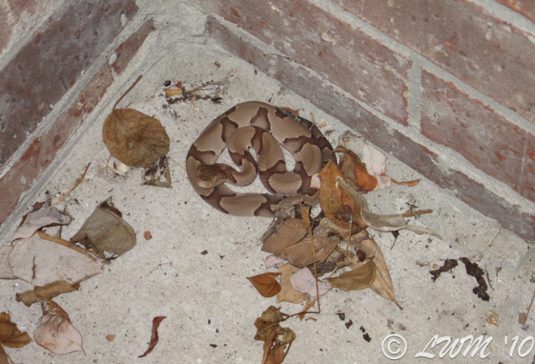 Copperhead Snake Blending With Leaves