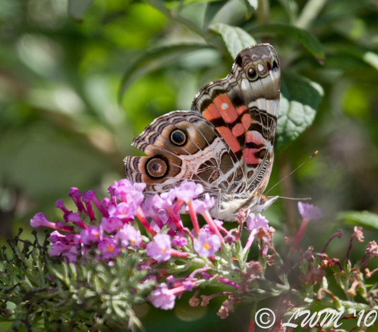 American Painted Lady On Butterfly Bush