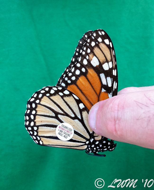 Tagged Monarch Female NGC 402