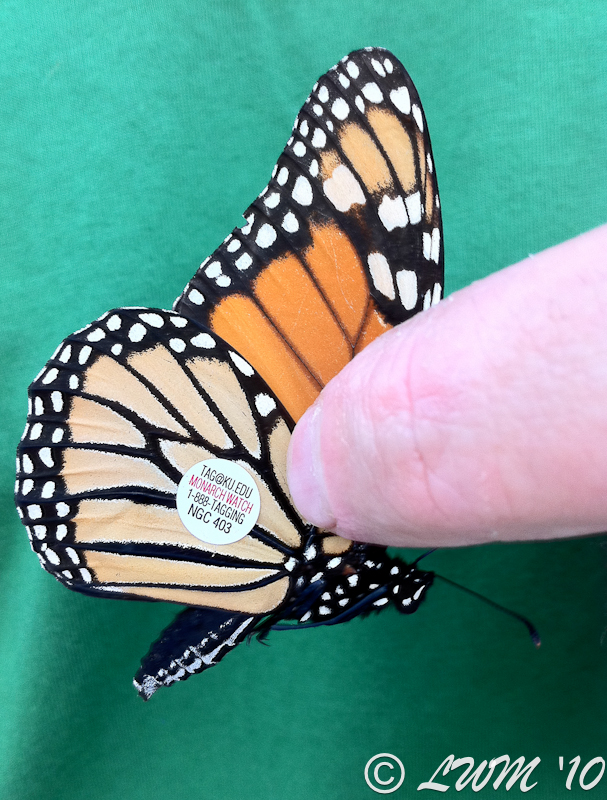 Tagged Monarch Male NGC 403