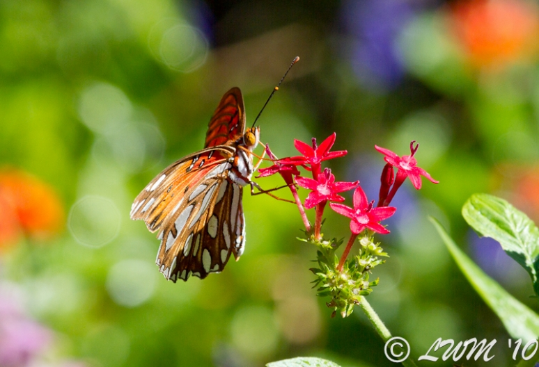 Side Profile Of Gulf Fritillary On Penta Plant 2010