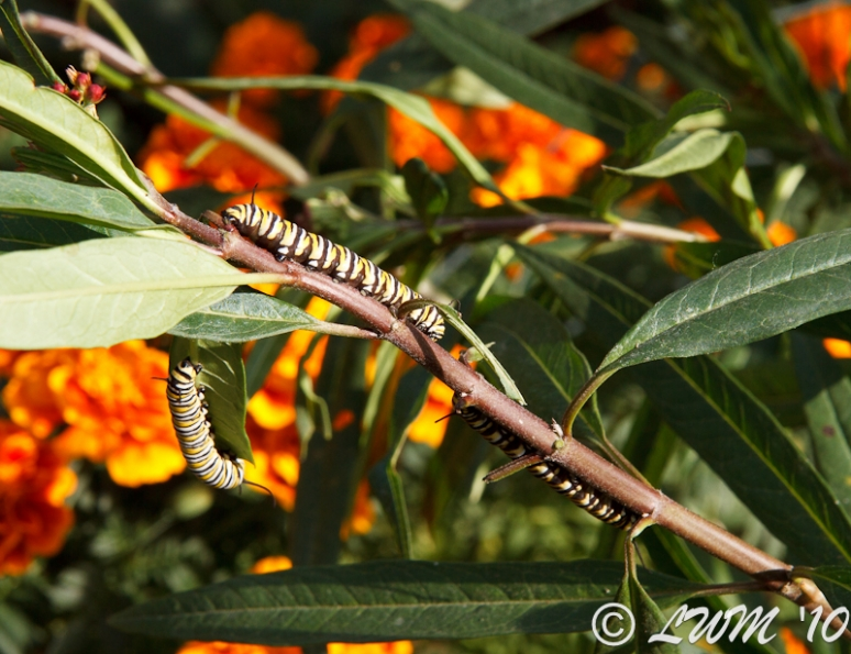 Three Caterpillars On Milkweed With Marigold Background