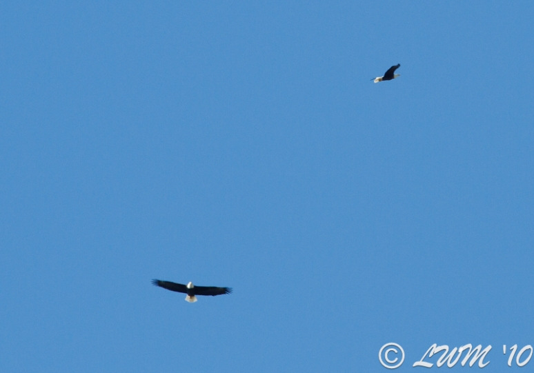 Pair Of Bald Eagles Over Houston