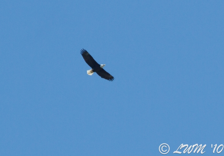Bald Eagle In Houston