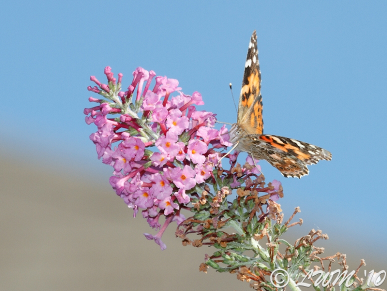 Painted Lady On Pink Butterfly Bush