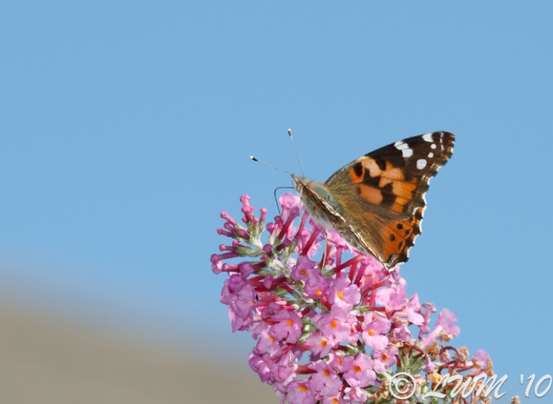 Painted Lady On Pink Butterfly Bush Blue Sky
