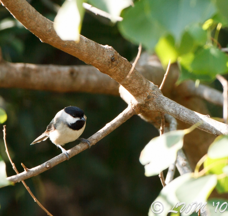 Carolina Chickadee Sitting On Branch