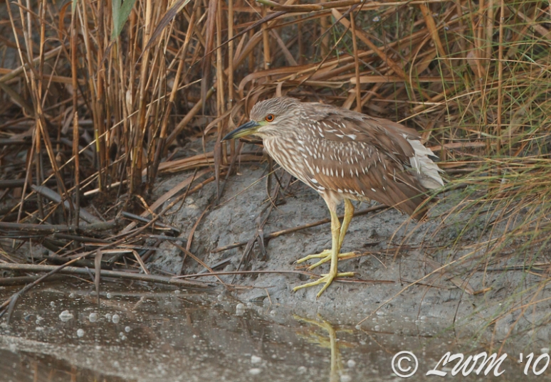 Black Crowned Night Heron At Anahuac