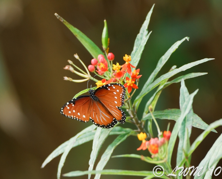 Female Queen Butterfly Getting Nectar From Milkweed