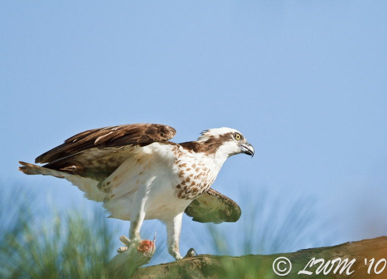 Osprey With Catfish In Pine Tree At Lake Houston