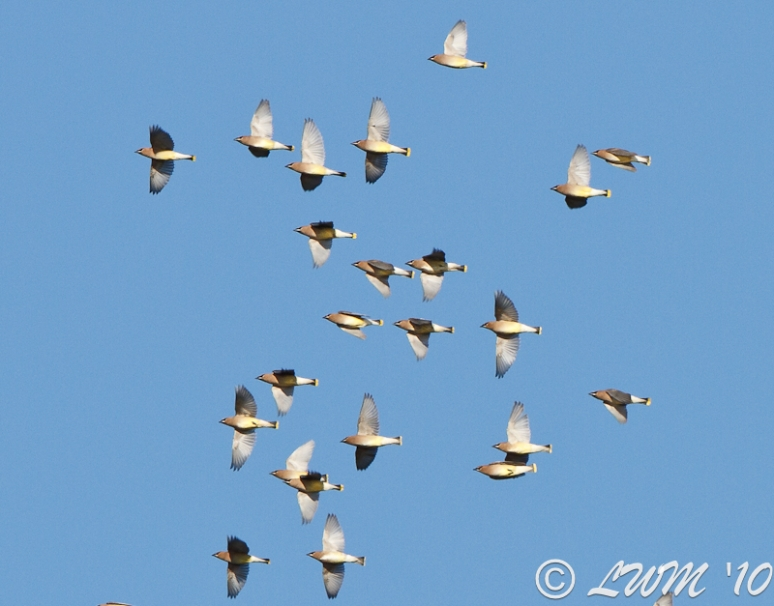 Flock Of Cedar Waxwings At Lake Houston