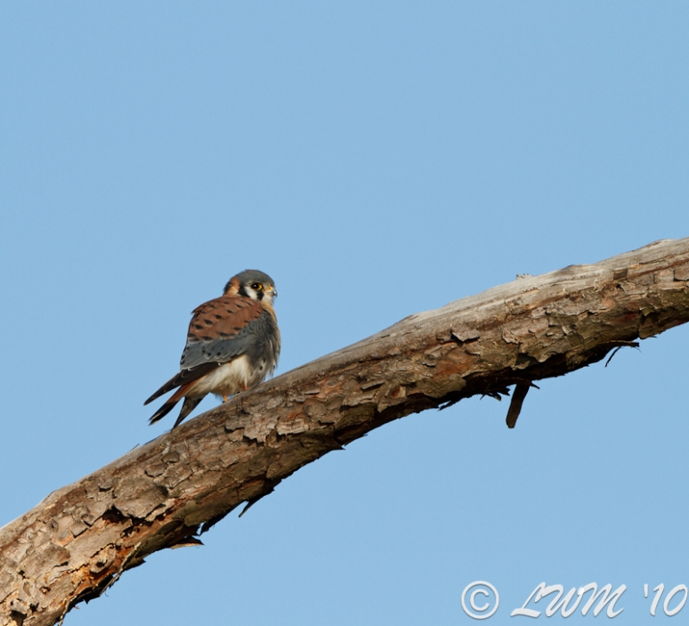 American Kestrel Looking Right In Pine Tree At Lake Houston
