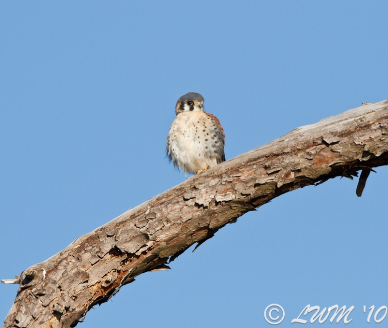 American Kestrel Front View In Pine Tree Lake Houston